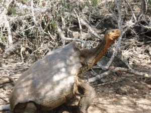 Saddleback Tortoise